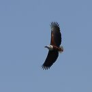 Fish Eagle in the Midlands by id4jd
