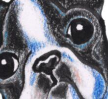 Curious Boston Terrier Sticker