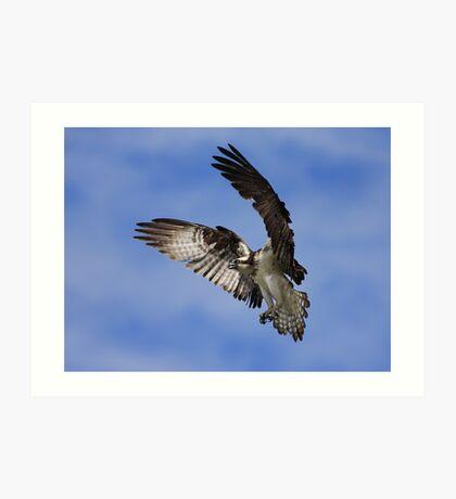 Osprey Wingspan Art Print