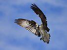 Osprey Wingspan by Jim Cumming