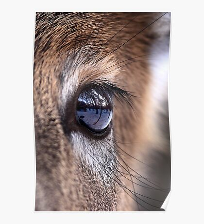 Now thats an eyefull! - White-tailed Deer Poster