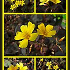 Yellow Oxalis - Oxalis spiralis vulcanicola by MotherNature