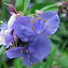 Ohio Spiderwort by Ron Russell