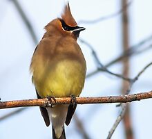 Cedar Waxwing: Icarus I Ain't by John Williams