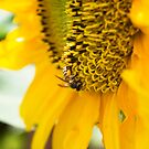 Sunflower and Bee by BengLim