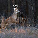 Buck Jump - White-tailed deer by Jim Cumming