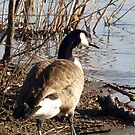 Canada Goose at the Potomac River by Bine