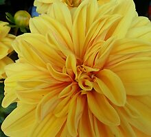 Chrysanthemum by rustycarno