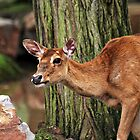 Red deer by Norma Cornes