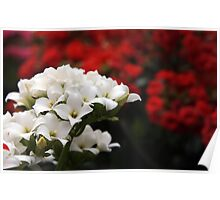 Kalanchoe with Red Poster