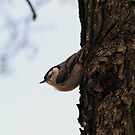 White Breasted Nuthatch by elasita