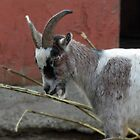 Goat by Roxy J
