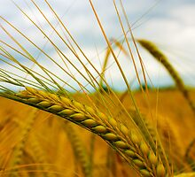 Wheat waiting to be harvested by Rarit-T