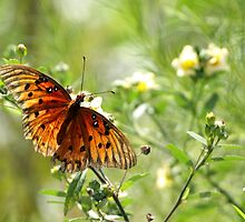 Gulf Fritillary by Carol Bailey White