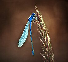 blue dragonfly by dirk hinz