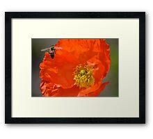 Poppy Love Framed Print