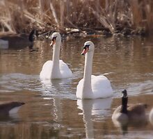 Swans in Winter 2 by srosu
