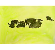 herd of cows relaxing in lush pasture Photographic Print