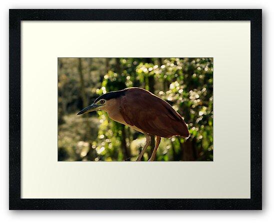 Rufus Or Night Heron by Noel Elliot