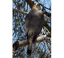 Coopers Hawk ~ Over the Shoulder Photographic Print