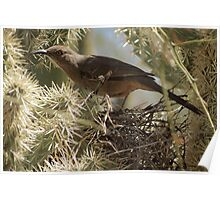 Curved-bill Thrasher ~ Nesting 2013 Poster