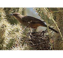 Curved-bill Thrasher ~ Nesting 2013 Photographic Print