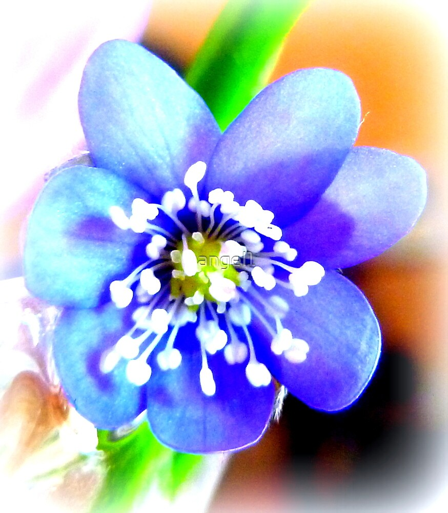Hepatica closeup by ©The Creative  Minds