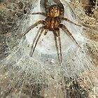 Tegeneria Spider in Web by Kawka