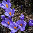 Spring Crocus by Randy Hill