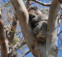 Snoozing Koala by Michael Barnett
