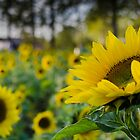 Sunflowers by Randy Hill