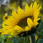 Sunflower by Randy Hill