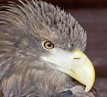 Sea Eagle by Roger Hall
