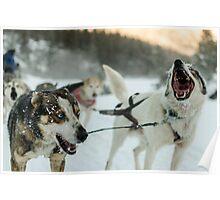 Happy Huskies Poster