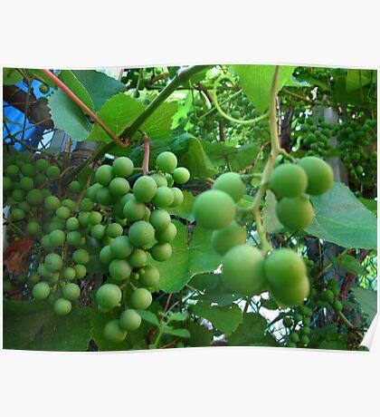 Green grapes Poster