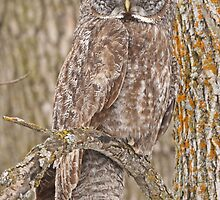 Camouflage-an owl's best friend by Heather King