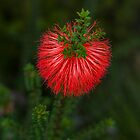 Beaufortia Squarrosa (Sand Bottlebrush) by Elaine Teague