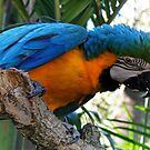 Macaw by Elaine Game