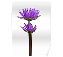 Purple water lily 3 Poster