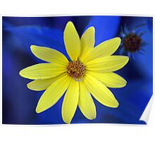 Helianthus hirsutus On Blue Poster