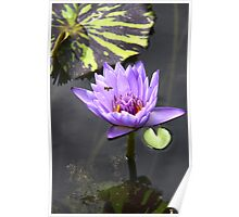 purple water lily 4 Poster
