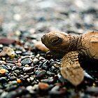Baby Sea Turtle - Playa Hermosa by Jacki Campany