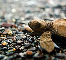 Baby Sea Turtle - Playa Hermosa by Jacki Campany