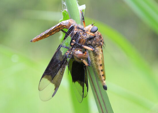 Robber Fly Having Lunch by ©Dawne M. Dunton