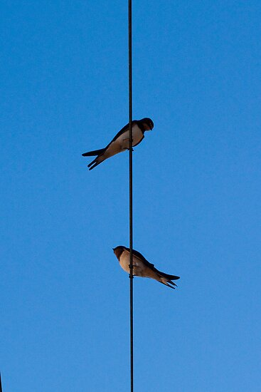 Birds on a wire by hpelly31