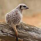 Meerkat sentry by hpelly31