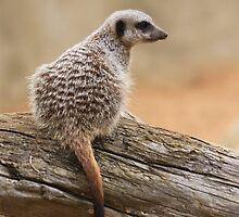 Meerkat sentry by hpelly31