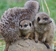 Thorp Perrow Arboretum Meerkat Group by InstituteFUF