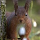 Red squirrel close up by Peter Skillen