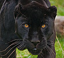 Black Jaguar by JMChown